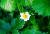 딸기꽃 템플릿