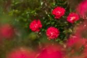 장미꽃 템플릿