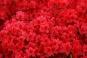 붉은색 꽃 템플릿