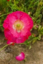 꽃양귀비 템플릿