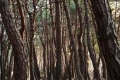 소나무 템플릿