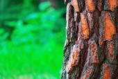 소나무 일러스트/이미지