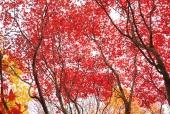 단풍나무 템플릿