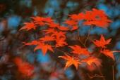 단풍잎 일러스트/이미지