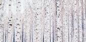 자작나무 일러스트/이미지