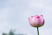 연꽃 템플릿