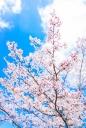 벚꽃 템플릿