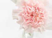 카네이션꽃 템플릿