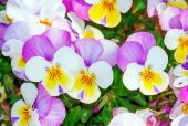삼색제비꽃 템플릿