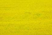 유채꽃밭 템플릿