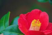 동백꽃 템플릿