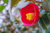 동백꽃나무 템플릿