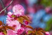 겹벚꽃 템플릿