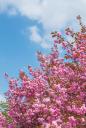 겹벚꽃나무 템플릿