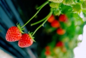 딸기 템플릿