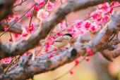 박새와홍매화꽃 템플릿