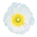 양귀비꽃 일러스트/이미지